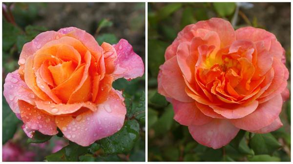 Роза сорт Taifun
