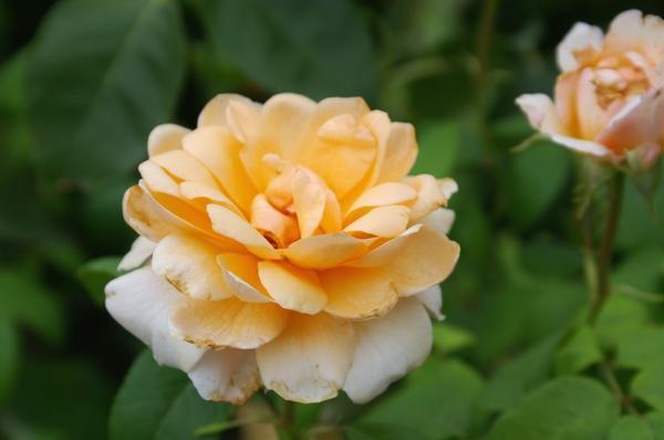 Роза сорт Благовест