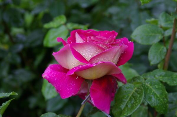 Роза сорт Kronenbourg