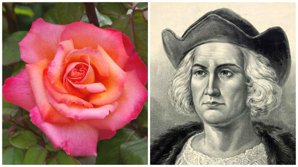 Роза сорт Christophe Colomb, Христофор Колумб - испанский мореплаватель, открывший европейцам Америку, фото сайтаwww.molomo.ru