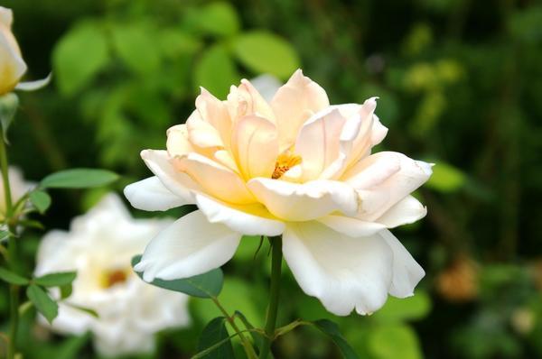 Роза сорт Grand Mogul