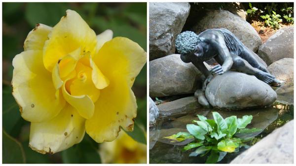 Роза сорт Narzisse, скульптура Нарцисса в парке Айвазовское, Крым