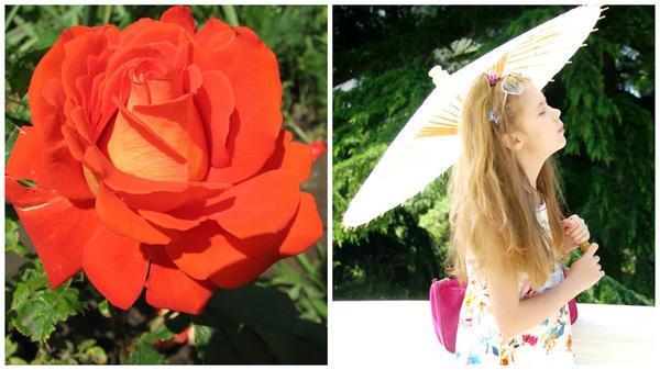 Роза сорт Verano, фото сайта Procvetok.com и Лиечка летом