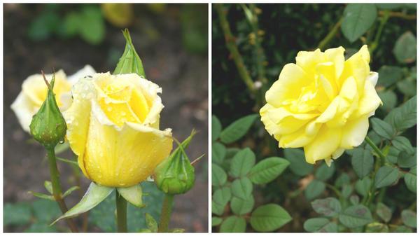 Роза сорт Mabella