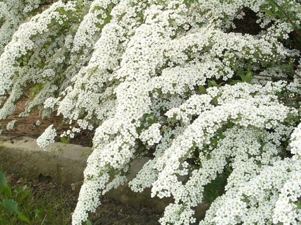 Спирея-невеста в моем саду