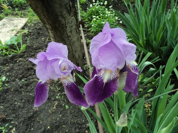 Ирисы цветы фото уход