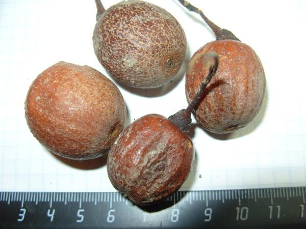 Плоды давидии Вильморена с 3 или 4 семенами и плотным покровом нуждаются в стратификации