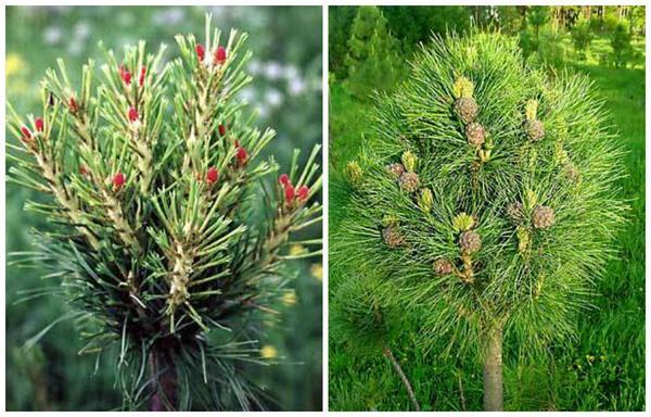 """Сорт """"Рекордистка"""" с готовы к опылению шишками (слева) и этот же сорт через год фото сайта kedr.forest.ru"""