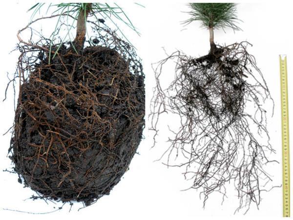 Слева - корневая система саженца, извлеченного из контейнера; тот же саженец с расправленными корнями фото сайта kedrovik.forest.ru