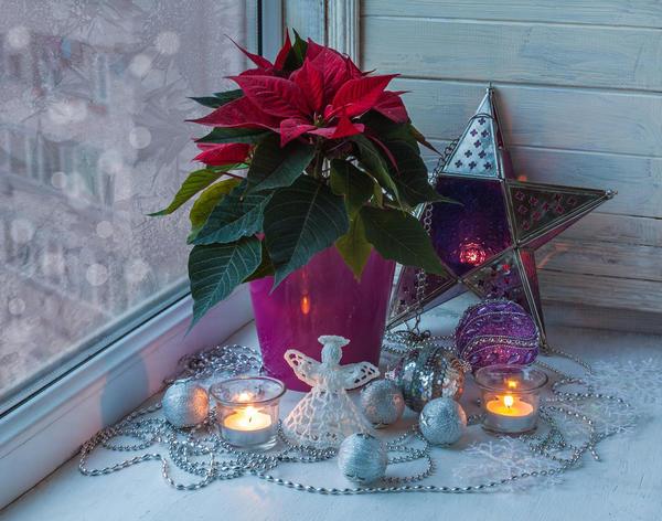 Пуансеттию недаром называют Рождественской звездой