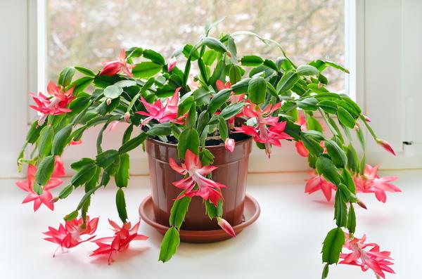 Еще одно комнатное растение, цветущее зимой — зигокактус