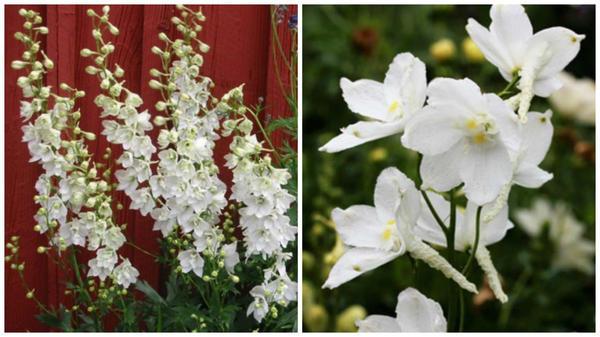 Дельфиниум белладонна внешний вид, фото сайта Wellgrow и цветки крупным планом, фото сайта Annie s Annuals and Perennials