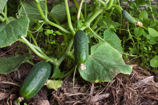 Рассадный способ выращивания значительно ускорит плодоношение