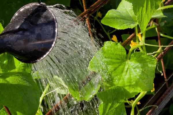 Так поливать огурцы нельзя: вода должна попадать на почву, а не на растения