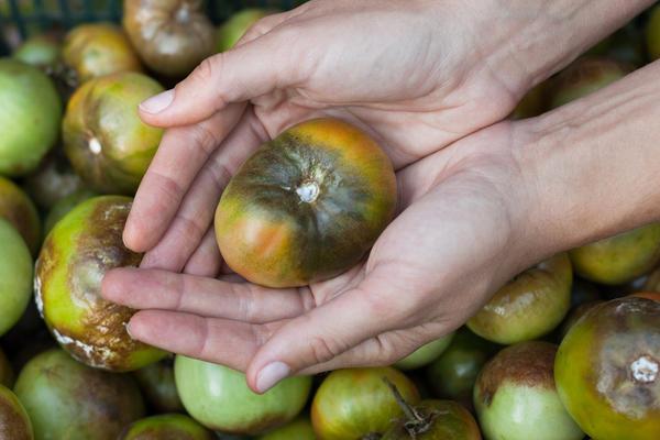 Каждое лето фитофтора губит урожай помидоров и картофеля