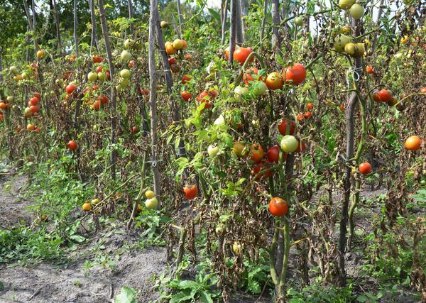 Возбудитель фитофторы живет в растениях и на растениях, не гибнет в воде