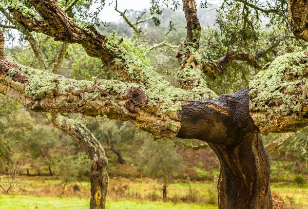 Пробки изготавливают из коры лишь нескольких видов деревьев