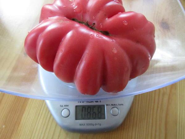 Томат сорт Инжир розовый фото с сайта forumimage.ru