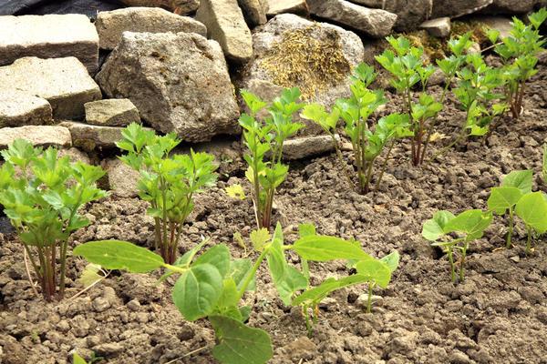 Как вырастить сельдерей на даче.Сильный запах сельдерея отпугивает многих вредителей