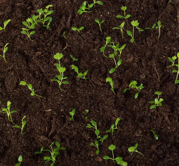 Чтобы получить дружные и сильные всходы, семена сельдерея стратифицируют