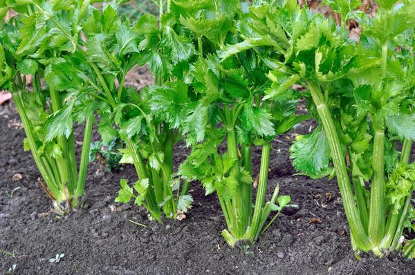 Как вырастить сельдерей на даче.Сельдерей можно выращивать рассадой или сразу сеять в грунт