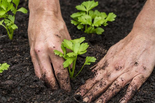На постоянное место рассаду корневого сельдерея высаживают к концу мая