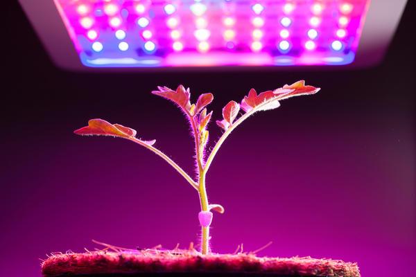 Исследования подтверждают положительное влияние синего и красного спектра на развитие растений