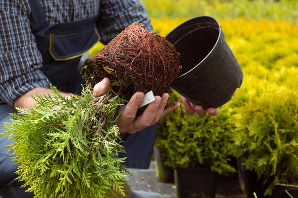 Вынуть растение из пластиковой емкости легко