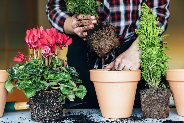 Методом перевалки пересаживают растения только с закрытой корневой системой