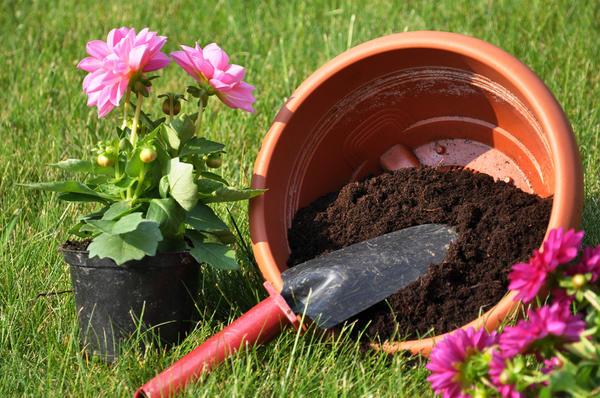Пересаживать растения из маленьких горшочков сразу в очень большие не стоит