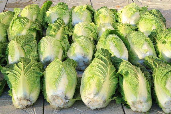 Урожай пекинской капусты нужно убрать надо до заморозков