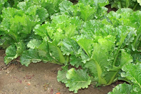 Можно получить два урожая пекинской капусты за один сезон