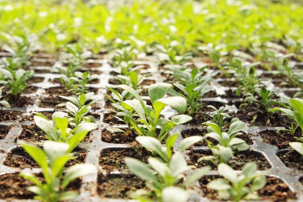 Нужно правильно выбрать сроки посева на рассаду