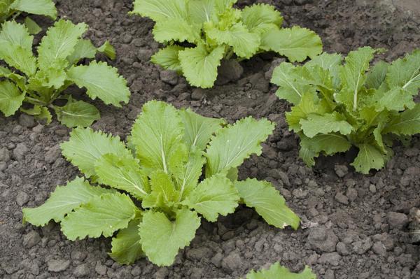 Сорт должен быть предназначен для выращивания в поликарбонатной теплице или под пленочными укрытиями