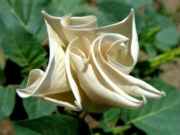 Сегодня род дурман включает в себя только травянистые растения с растущими исключительно вверх большими колокольчатыми цветками