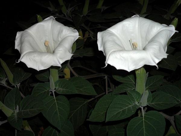 Цветки индейского дурмана
