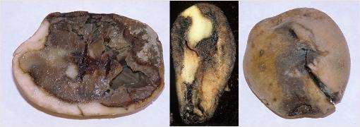 Раневая водянистая гниль картофеля. Фотография с сайта belbulba.by.