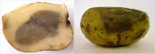 Резиновая гниль картофеля. Фотография с сайта belbulba.by.