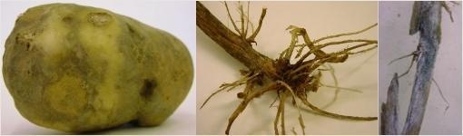 Антракноз картофеля. Фотография с сайта belbulba.by.