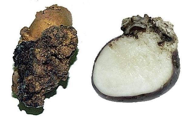 Рак картофеля. Фотография с сайта selhoz.admin-smolensk.ru.
