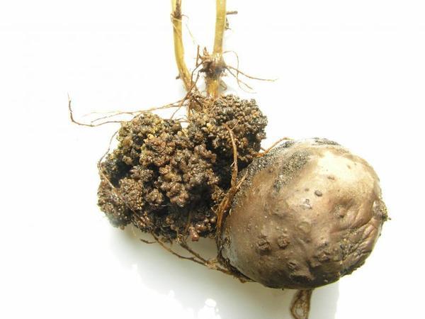 Пораженный раком картофель. Фотография с сайта web2.mendelu.cz
