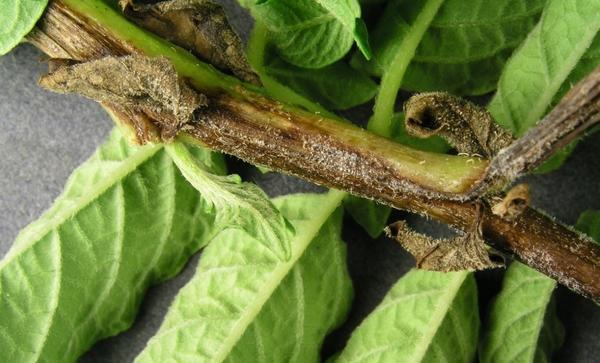 Признаки фитофтороза на стебле картофеля. Фотография с сайта extension.umaine.edu.