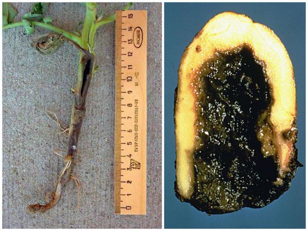 Черная ножка картофеля. Фотографии с сайтов agroflora.ru и apsnet.org.
