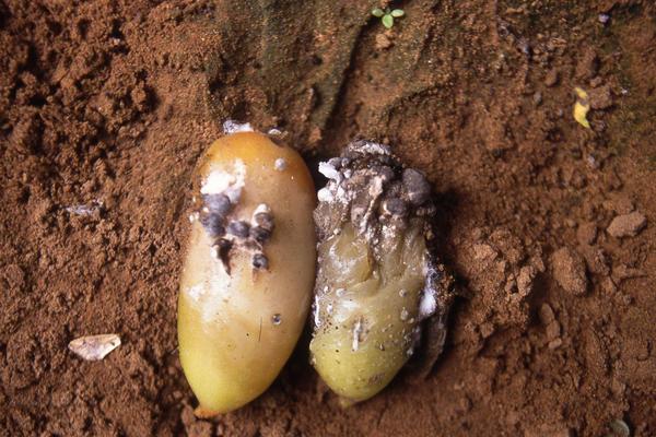 Склеротиниоз картофеля. Фотография с сайта blog.fidedeposu.com.