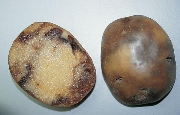 Угольная гниль картофеля. Фотография с сайта belbulba.by.