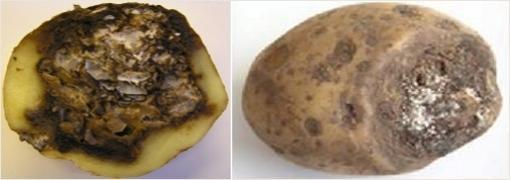 Фузариозная сухая гниль картофеля. Фотография с сайта belbulba.by.