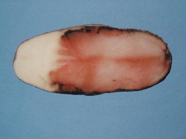 Розовая гниль картофеля. Фотография с сайта www.botanichka.ru.