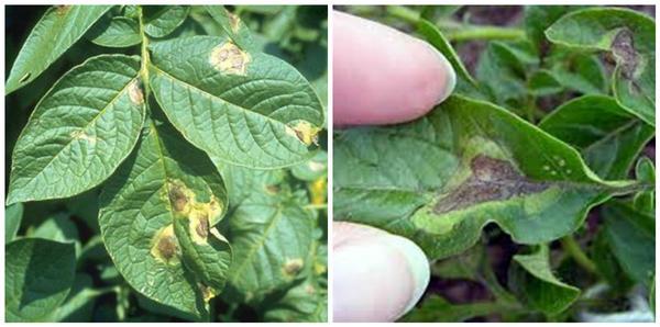 Фитофтороз картофеля. Видны стадии развития болезни. Фотография с сайта agro-opt.com.ua.