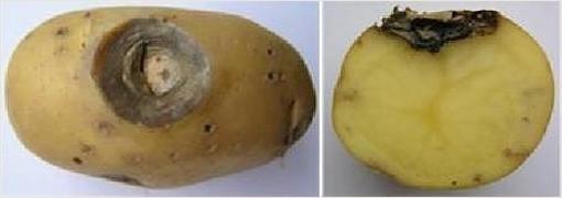 Фомоз картофеля. Фотография с сайта belbulba.by.