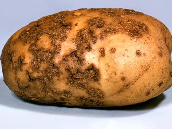 Так выглядит бугорчатая парша на картофельных клубнях. Фото с сайта floweryvale.ru